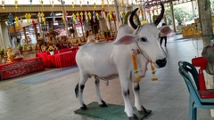 A sacred ruminant in the temple at Don Wai