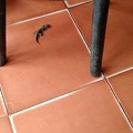 gecko on floor of Indian restaurant in Chinatown, Bangkok