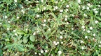 Thai white clover